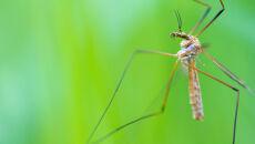 Dlaczego komary nie giną w deszczu?