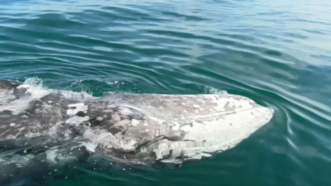 """Wieloryb błąka się po Morzu Śródziemnym. <br />""""Jest wyczerpany, tylko skóra i kości z niego zostały"""""""