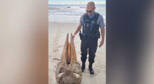 Fragment zwierzęcego szkieletu znaleziony na plaży w New Jersey (wideo bez dźwięku)