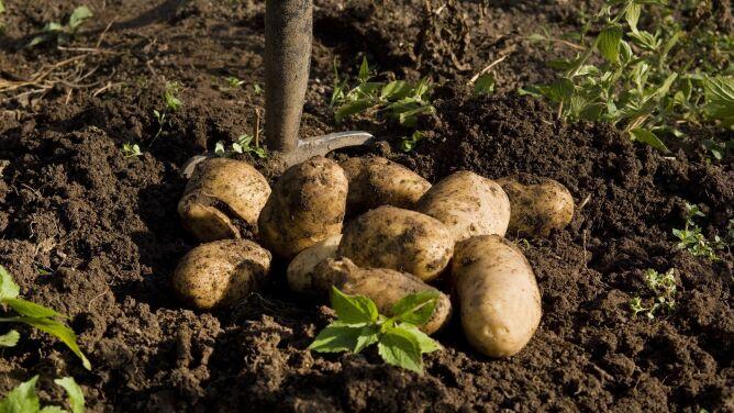 Zagrożone uprawy roślin okopowych